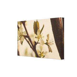 Cherry tree blossoms canvas print