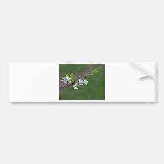 Cherry tree flowers bumper sticker