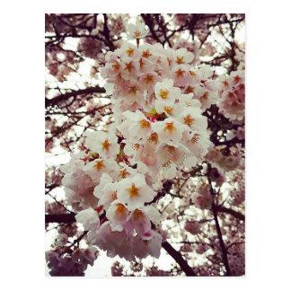 Cherry Tree in Bloom Postcard