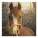 Chestnut Arab Horse Poster Print