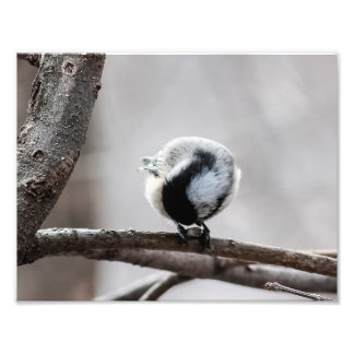 Chickadee Looking For Insects Photography Print Photograph