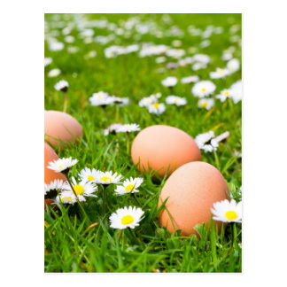 Chicken eggs in grass with daisies postcard