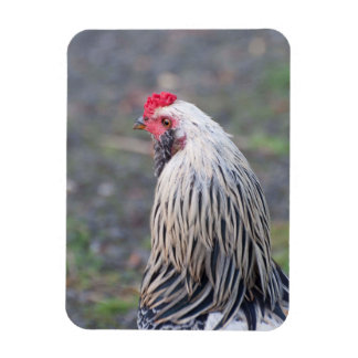 Chicken Up Close and Personal! Magnet