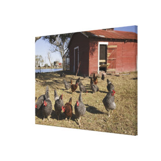 Chickens working grounds near hen house Cliburn Stretched Canvas Prints