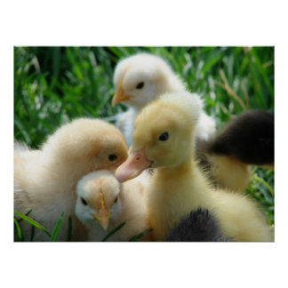 Chicks and Duckling Poster