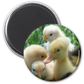 Chicks and Ducklings Magnet