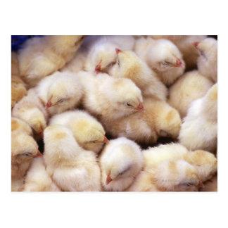 chicks, brood of chickens postcard