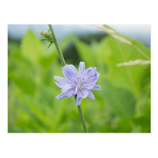 Chicory Blue Wildflower Floral Postcard