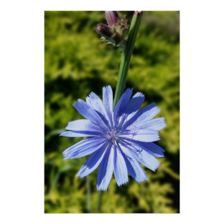 Chicory flower poster