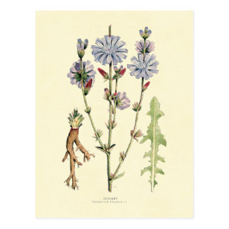 Chicory Postcard