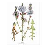 Chicory Vintage Botanical Postcard