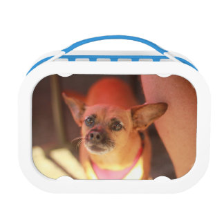 chihuahua close up tan portrait lunch box