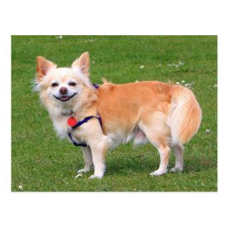 Chihuahua dog long-haired beautiful photo portrait postcard