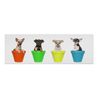 Chihuahua flower pot poster