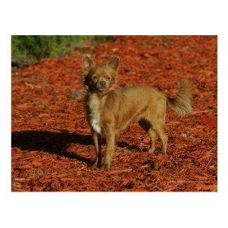 Chihuahua Looking at Camera Postcard
