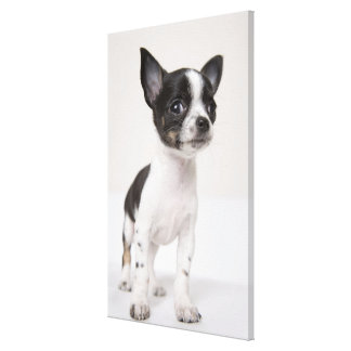 Chihuhua puppy standing on white fabric stretched canvas prints