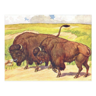Childrens 1906 Book Illustration of Bison Postcard