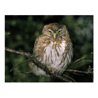 Chile, Aysen. Autral Pygmy Owl (Glaucidium Postcard