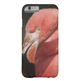 Chilean Flamingo, Phoenicopterus chilensis Barely There iPhone 6 Case