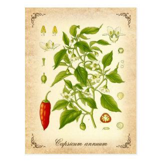 Chili Pepper - vintage illustration Postcard