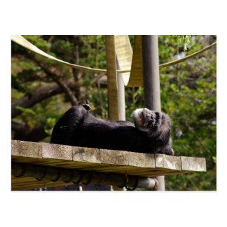 Chimpanzee Resting Postcard