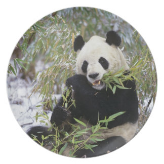 China, Sichuan Province. Giant Panda feeds on Party Plate
