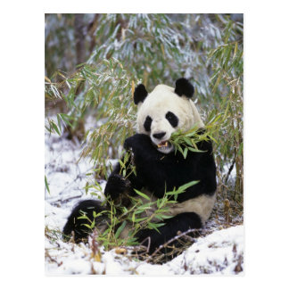 China, Sichuan Province. Giant Panda feeds on Postcard