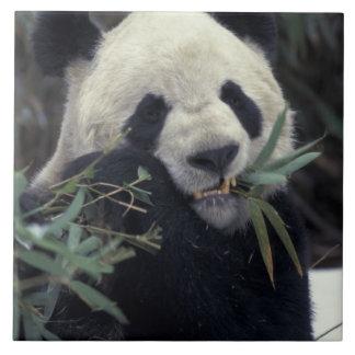 China, Wolong Nature Reserve. Giant Panda feeds Large Square Tile