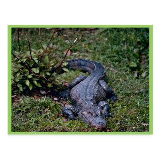 Chinese Alligator Postcard