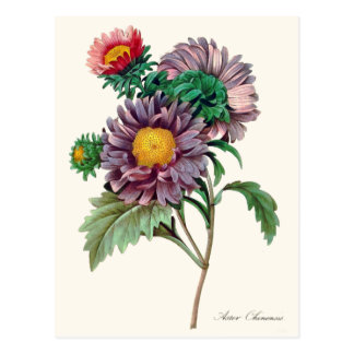 Chinese Aster Flowers Postcard