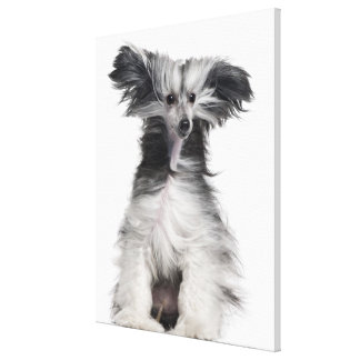 Chinese Crested Dog (15 months old) in the wind Stretched Canvas Prints