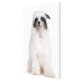 Chinese Crested Dog (7 months old) Stretched Canvas Prints