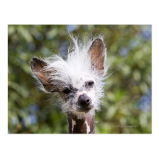 CHINESE CRESTED DOG (HAIRLESS) POSTCARD