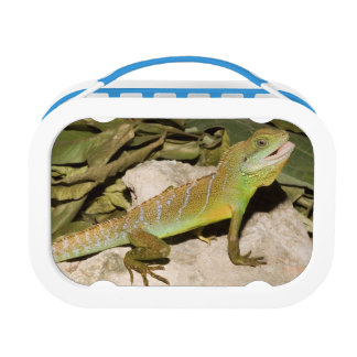 Chinese water dragon lunch box