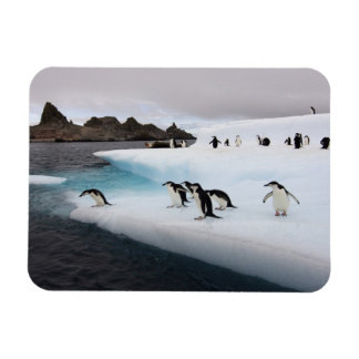 chinstrap penguins, Pygoscelis antarctica, 2 Rectangular Photo Magnet