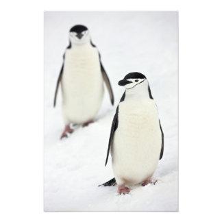 Chinstrap Penguins Pygoscelis antarcticus), Photo Print