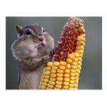 Chipmunk Cheeks Full of Corn Postcard