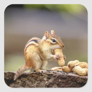Chipmunk eating a peanut square sticker