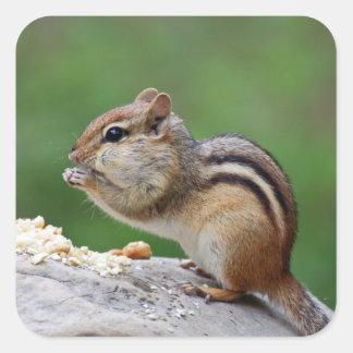 Chipmunk eating nuts square sticker