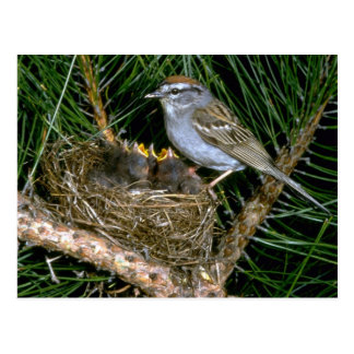 Chipping Sparrow and two nestlings Postcard