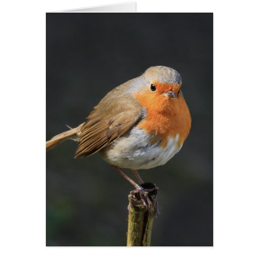 Chirpy Robin Greeting Cards