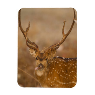 Chital or Cheetal, Spotted Deer, male grazing Rectangular Photo Magnet
