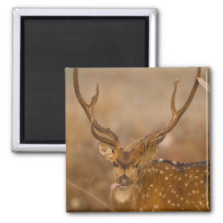 Chital or Cheetal, Spotted Deer, male grazing Square Magnet