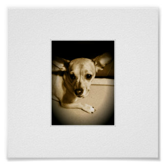 Chiweenie Posters