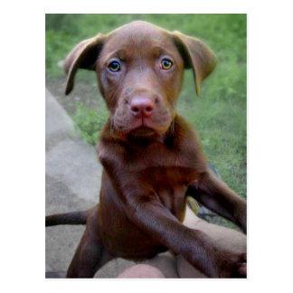 Chocalate Labrador Pittie Puppy Exploring Postcard