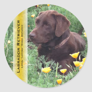 Chocolate Lab in California Poppy Patch Round Sticker