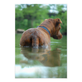 Chocolate Lab Pit Mix Dog Swimming 4 Photo Print