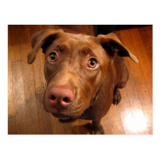 Chocolate Lab Pit Puppy Pleading Look Postcard
