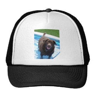 Chocolate Labrador having fun in a swimming pool Cap