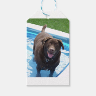 Chocolate Labrador having fun in a swimming pool Gift Tags